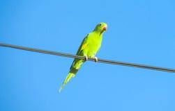 Groene papegaai op de draad Stock Foto's