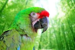 Groene papegaai van de Ara van Militaris van aronskelken de Militaire Stock Fotografie