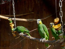 Groene papegaaien Royalty-vrije Stock Foto's
