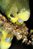 Groene papegaaigrasparkiet Royalty-vrije Stock Afbeelding