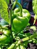 Groene paprika stock afbeelding