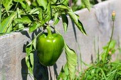 Groene paprika in Opgeheven Tuin Stock Fotografie