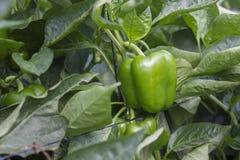 Groene paprika's die in hydroponic de vallei groeien van serrejordanië Royalty-vrije Stock Fotografie