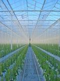 Groene paprika's in serre Stock Foto