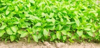 groene paprikazaailingen in de serre, klaar voor transplantatie op het gebied, de landbouw, landbouw, milieuvriendelijke groenten stock fotografie