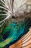 Groene Peafowl Royalty-vrije Stock Foto