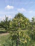 Groene peren op het de zomergebied Royalty-vrije Stock Foto's