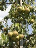 Groene peren op het de zomergebied Stock Foto