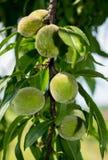 Groene perzik, onrijp, aan het begin van de zomer royalty-vrije stock fotografie