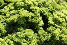 Groene peterselie Stock Afbeelding