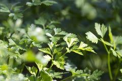 Groene peterselie. Stock Foto's
