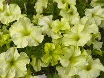 Groene petunia Stock Foto's