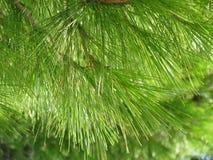 Groene pijnboom Royalty-vrije Stock Afbeeldingen