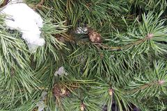 groene pijnboom een jonge boom in het park, dichte omhooggaand, zich bruine kegelssneeuw vertakt stock afbeelding