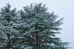 Groene pijnboom met grote kegels Royalty-vrije Stock Fotografie