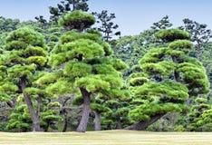 Groene pijnboombomen in een bos Stock Fotografie