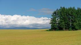 Groene pijnboombomen met gouden padievelden en blauwe hemel van patchwo Royalty-vrije Stock Foto's