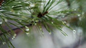 Groene pijnboomtak met regendruppels stock footage
