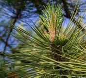 Groene pijnboomtakken met kegels Pijnboom bos, schone lucht, ozon royalty-vrije stock afbeeldingen