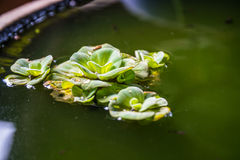 Groene Pistia stratiotes in aardewerk, groene drijvende watersla Royalty-vrije Stock Afbeeldingen