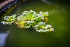 Groene Pistia stratiotes in aardewerk, groene drijvende watersla stock afbeelding