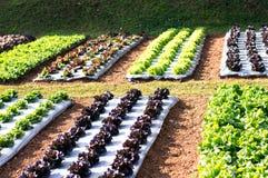 Groene plantaardige salade, salade en rode salade stock afbeeldingen