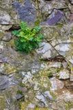 Groene planton een steenmuur Royalty-vrije Stock Foto