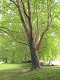 Groene platan bomen royalty-vrije stock foto's