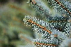 Groene pluizige dichte omhooggaand van de sparrenbrunch Royalty-vrije Stock Foto's