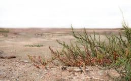 Groene prikkelingen die in de woestijn groeien - installaties in het zand Royalty-vrije Stock Afbeelding
