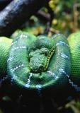 Groene Python royalty-vrije stock foto