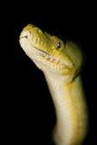Groene Python Royalty-vrije Stock Foto's