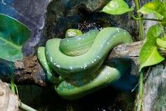 Groene python op tak Royalty-vrije Stock Afbeeldingen