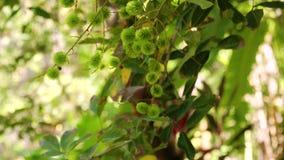 Groene Rambutan op de boom stock videobeelden