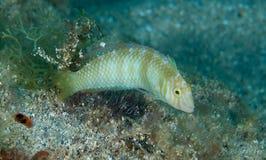 Groene Razorfish stock foto