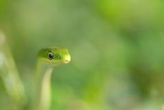 Groene Reis stock foto's