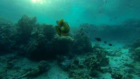 Groene reus triggerfish in langzame motie stock footage