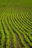 Groene rijp Stock Foto