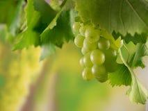 Groene rijpe druiven met dauwdruppels en wijnstokbladeren in een wijngaard op een zonnige oogstdag royalty-vrije stock foto's