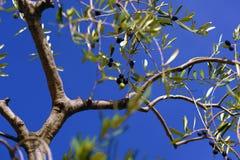 Groene rijpende olijven bij blauwe hemel royalty-vrije stock afbeelding
