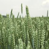 Groene rijpende oren van tarwe Stock Fotografie