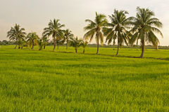 Groene rijst Stock Fotografie
