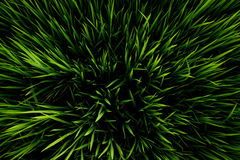 Groene rijst Stock Afbeelding
