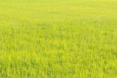 Groene rijst Royalty-vrije Stock Fotografie
