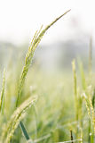 Groene rijst, Stock Foto