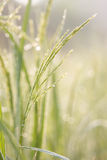 Groene rijst, Stock Fotografie