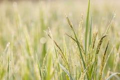 Groene rijst, Royalty-vrije Stock Afbeeldingen