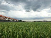 Groene rijst Royalty-vrije Stock Afbeeldingen