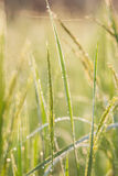 Groene rijst, Bokeh Royalty-vrije Stock Afbeelding