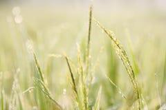 Groene rijst, Bokeh Stock Afbeeldingen